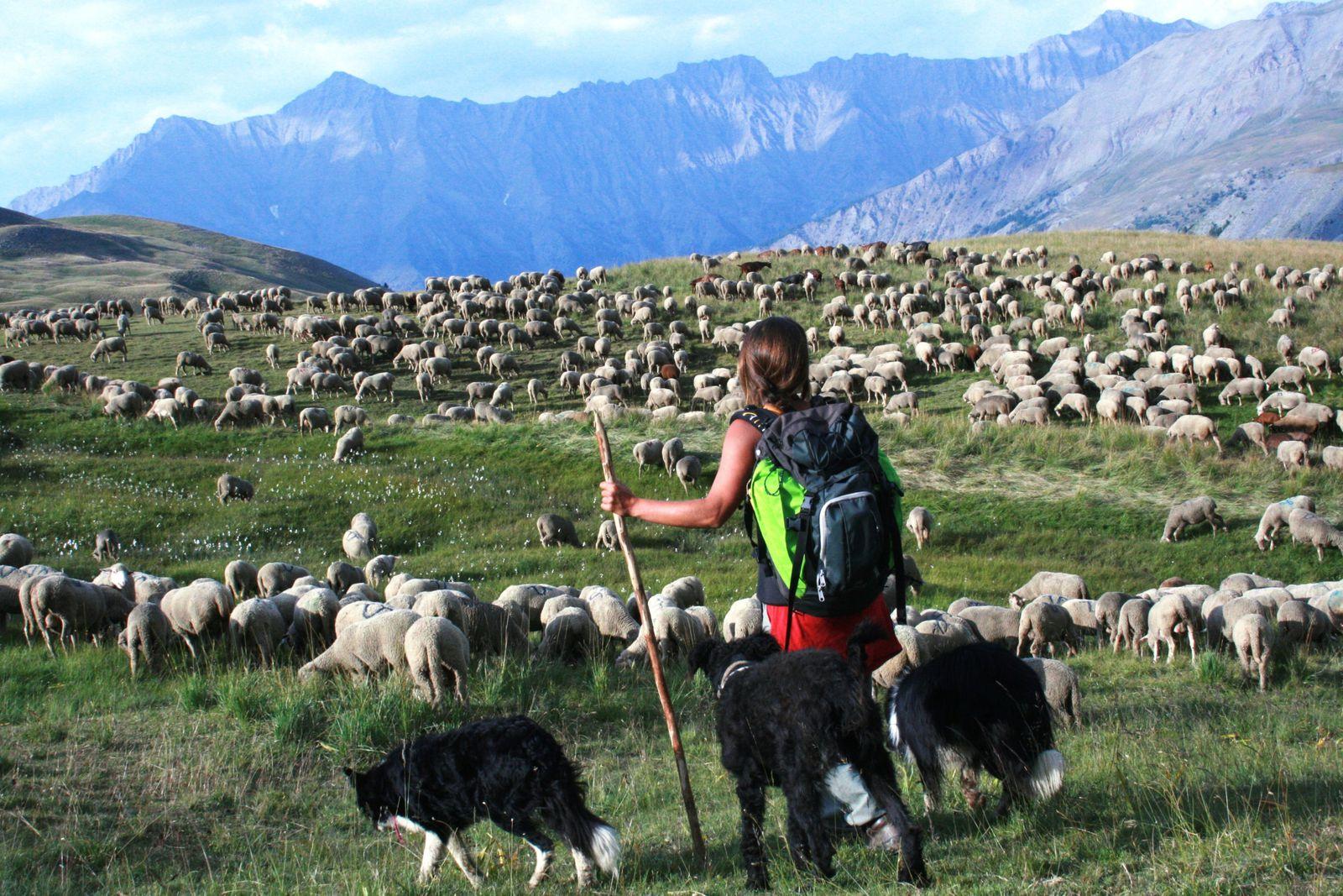 Bergère et son troupeau dans les Alpes de Haute Provence (photo P. Fabre)