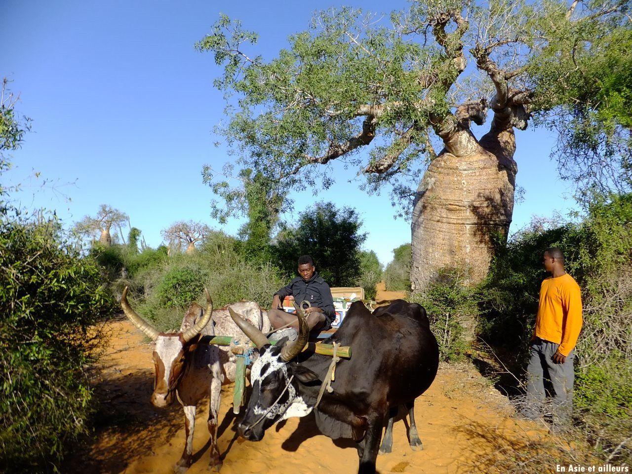 De Mangily à Ifaty : entre lagons et baobabs