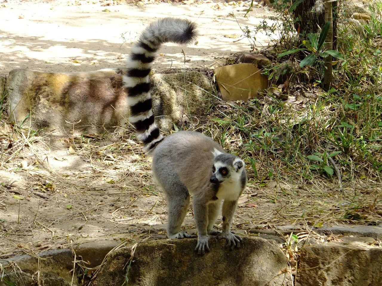 Zébus, lémuriens et caméléons de Madagascar