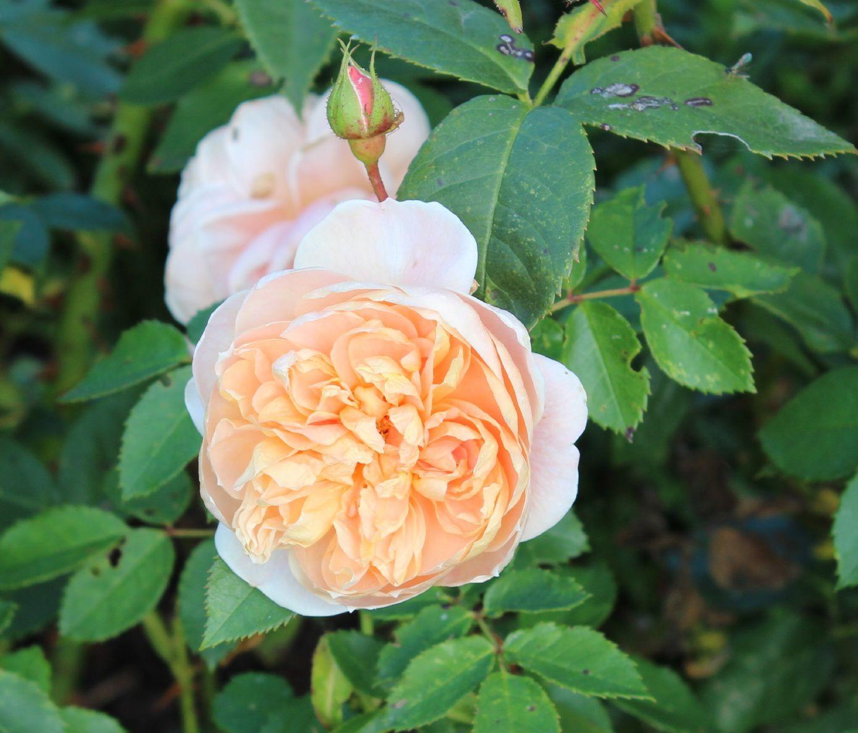Je terminerai par le rosier Colette. Un rosier magnifique avec une santé de fer. Le monde des roses est vraiment merveilleux...