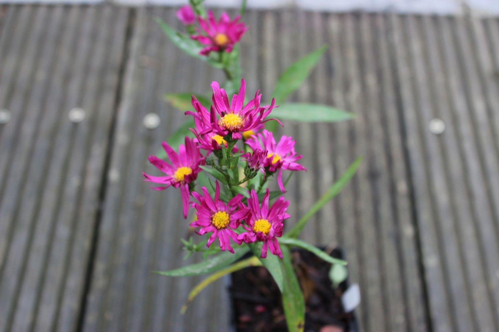 """L'aster dumosus """"Néron"""" devrait lui aussi illuminer le jardin avec sa couleur rose vive. Hauteur annoncée: 50 cm"""