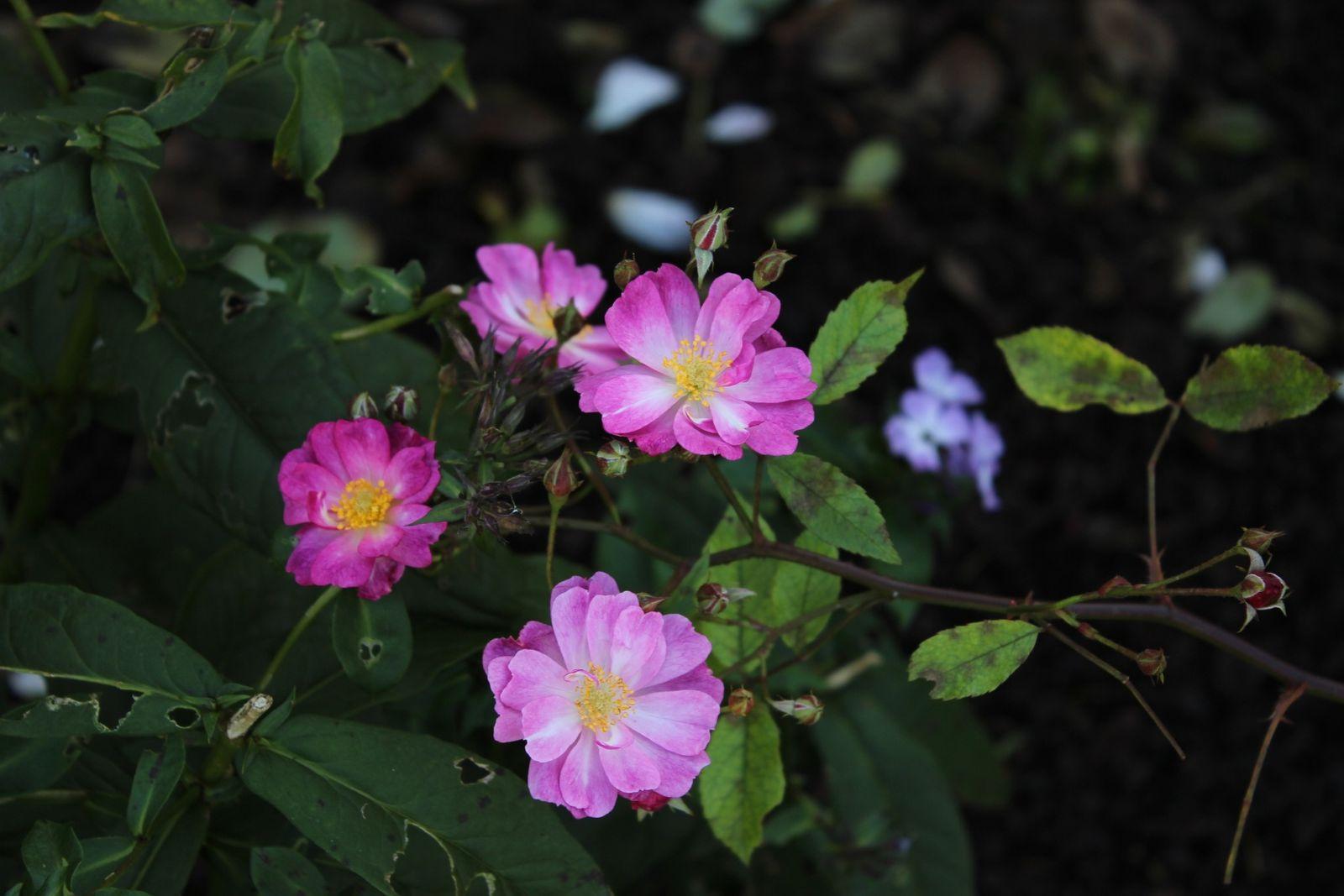 """J'adore les fleurs de """"Yesterday"""""""