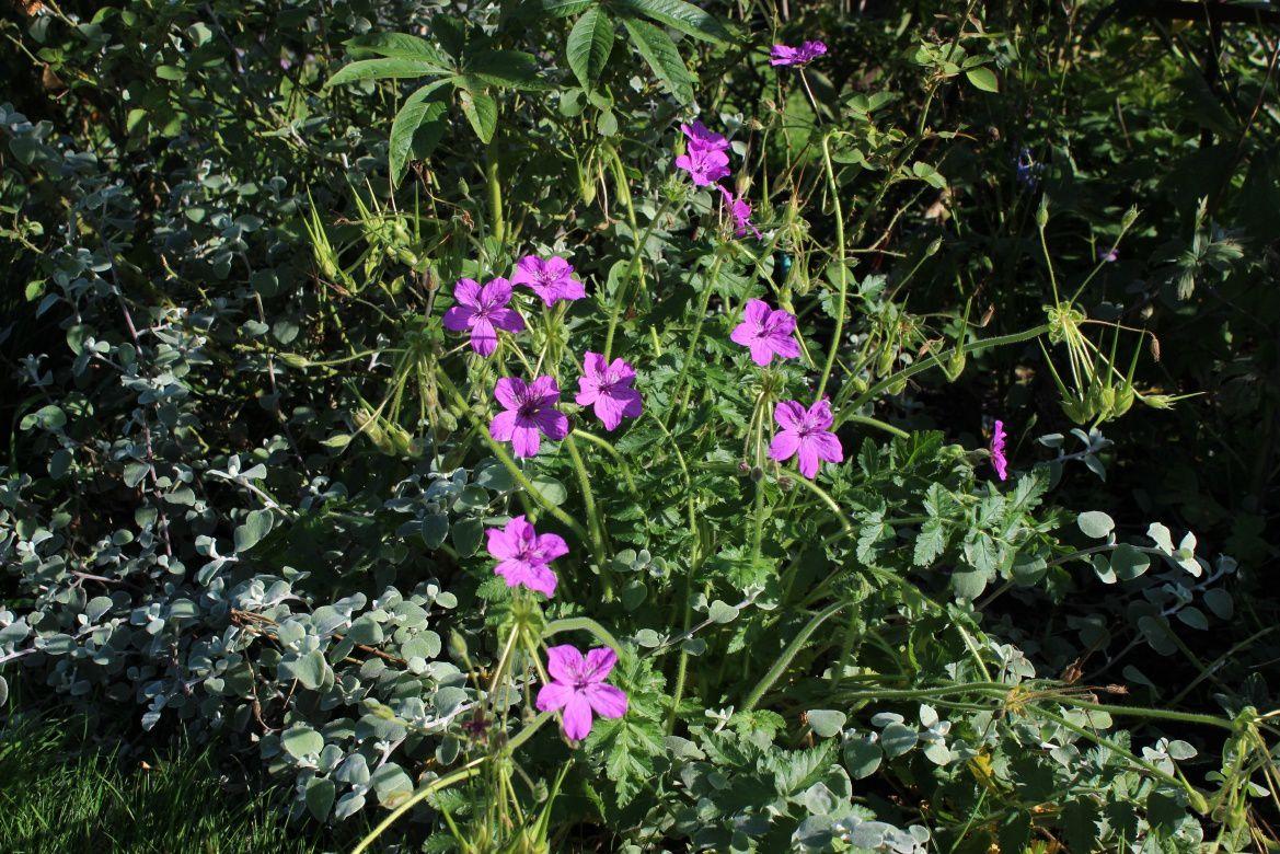 La vivace érodium Manescavi est une belle découverte de cette année. Elle a vraiment fleuri longtemps.