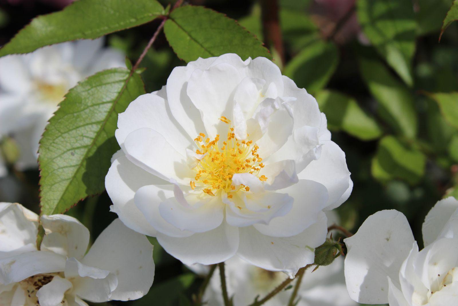 Nouvelles roses (2)