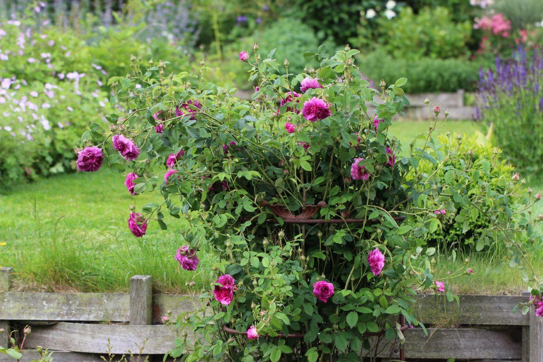 Le temps des roses...