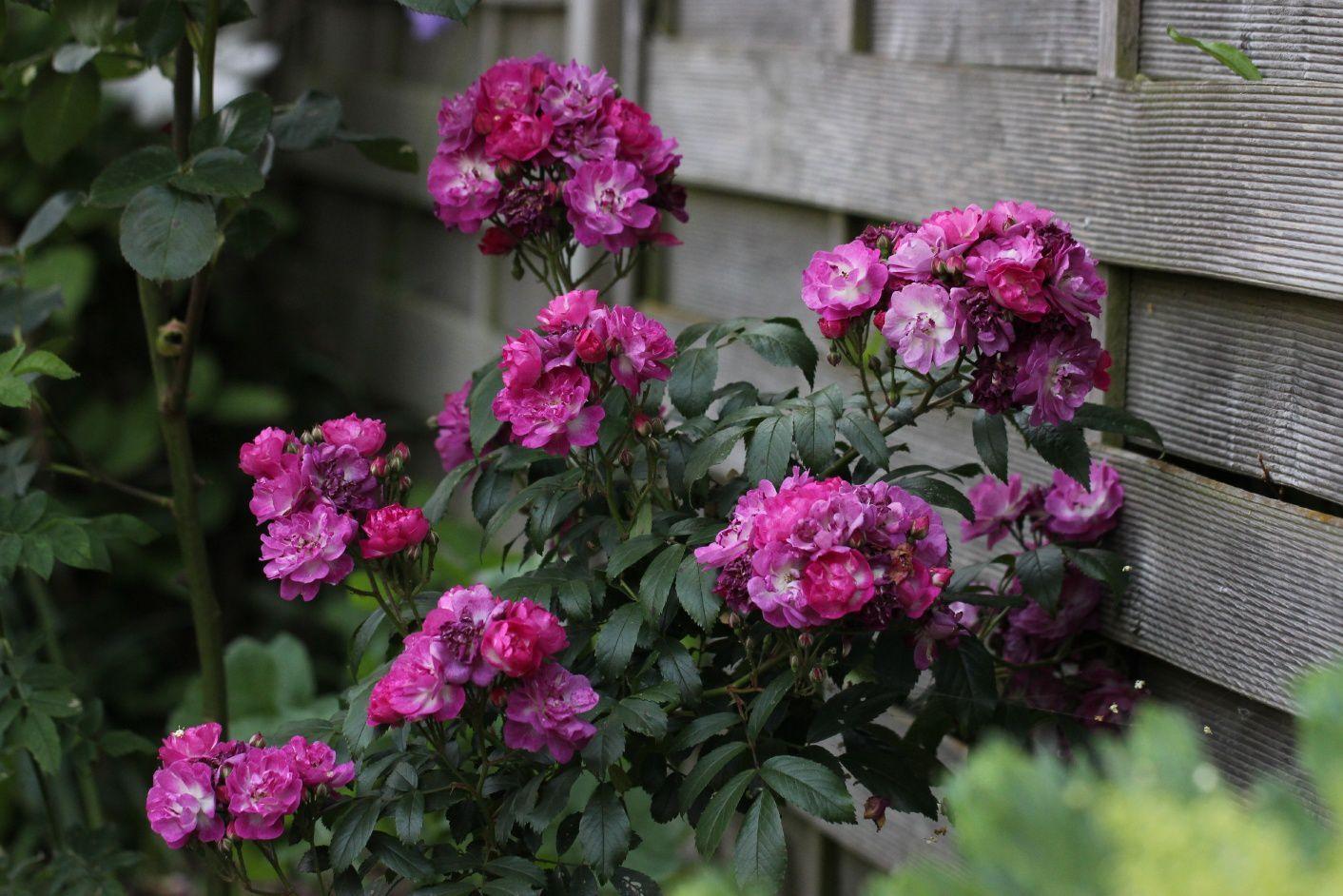 """Les bouquets sont moins larges que """"Purple Skyliner"""". Néanmoins, on peut observer les mêmes variations de couleurs en fonction de l'avancée de floraison de chaque rose."""