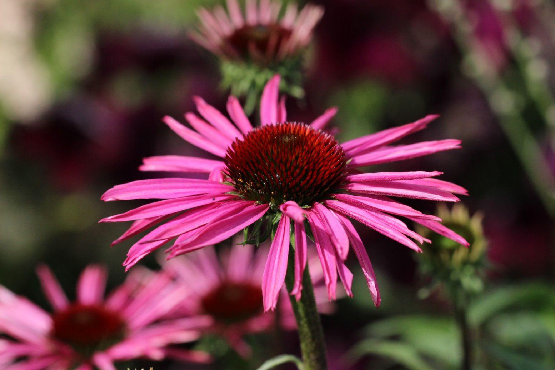 Les floraisons de juillet (suite)