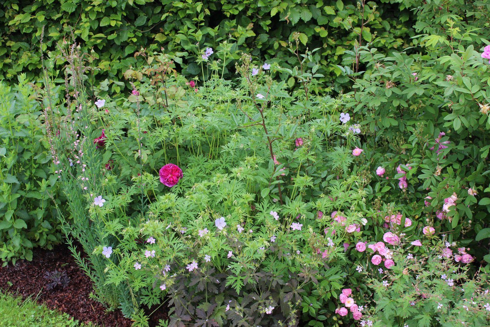 """Le rosier anglais """"Young Lycidas"""" débute sa floraison. De même que le roser """"Gaard um Titzebierg"""". Le géranium """"Blue cloud"""" assure la liaison entre les deux."""