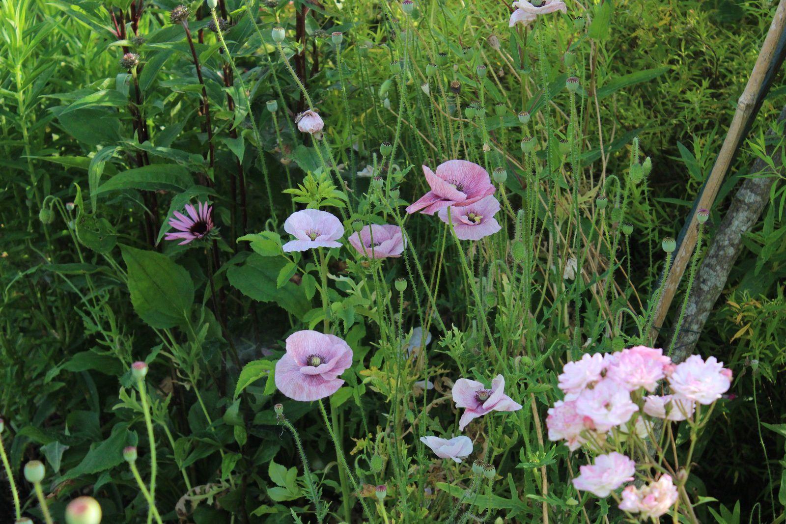 "Papaver rhoeas&#x3B; rosa ""Petite de terre franche"", echinacea de semis."