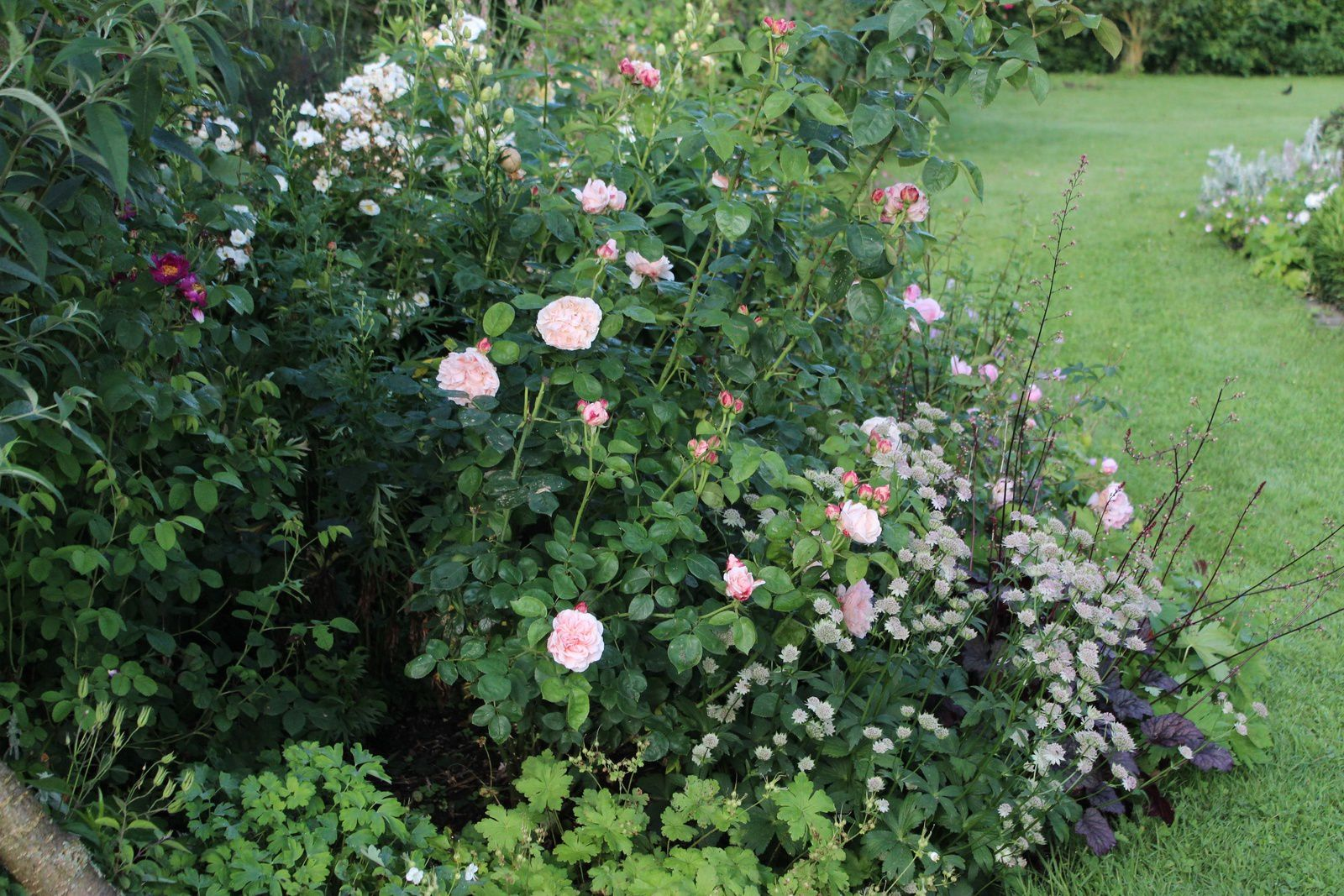 "Rosa ""St Swithin, Astrance ""Buckland""&#x3B; heuchère ""Frosted Violet"""