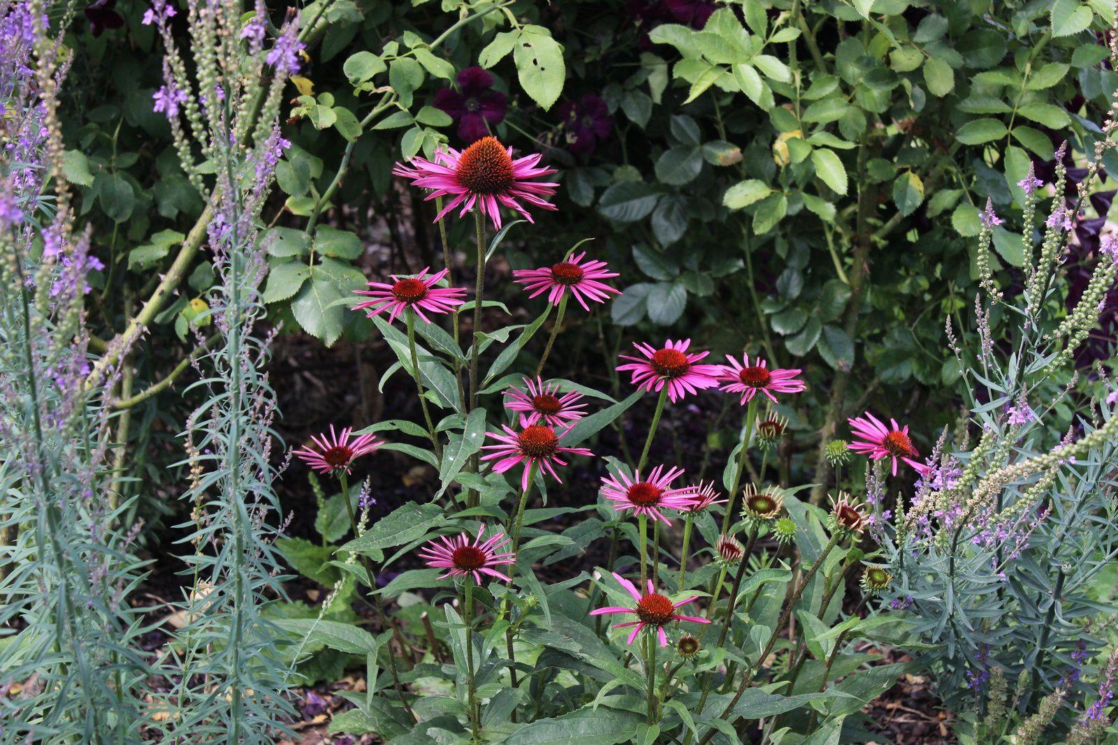 Echinacae: les belles de l'été