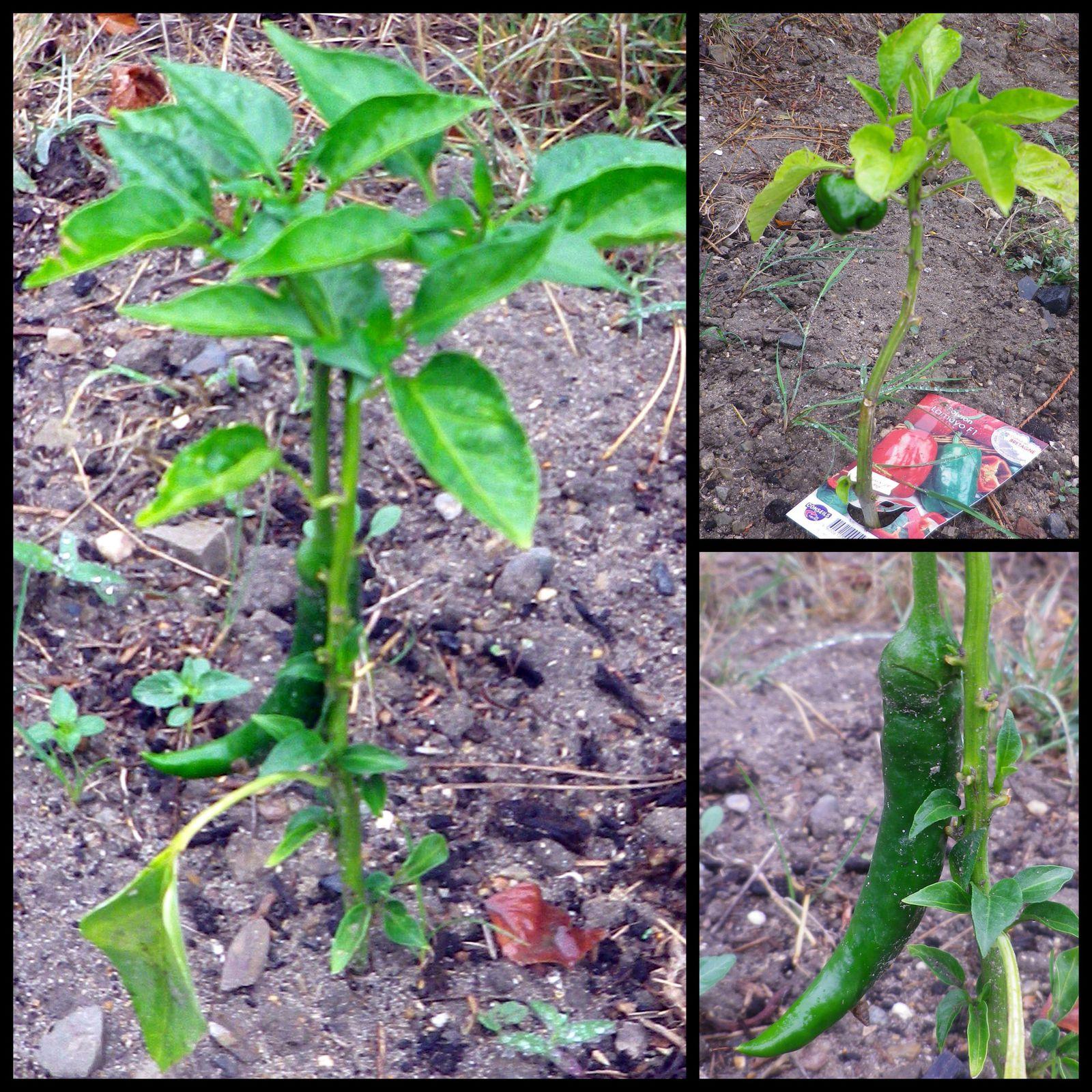 Plantés tardivement (après avoir emménagé ici cet été) voici notre premier piment, et notre premier poivron qui pour le moment est très petit &#x3B;-)