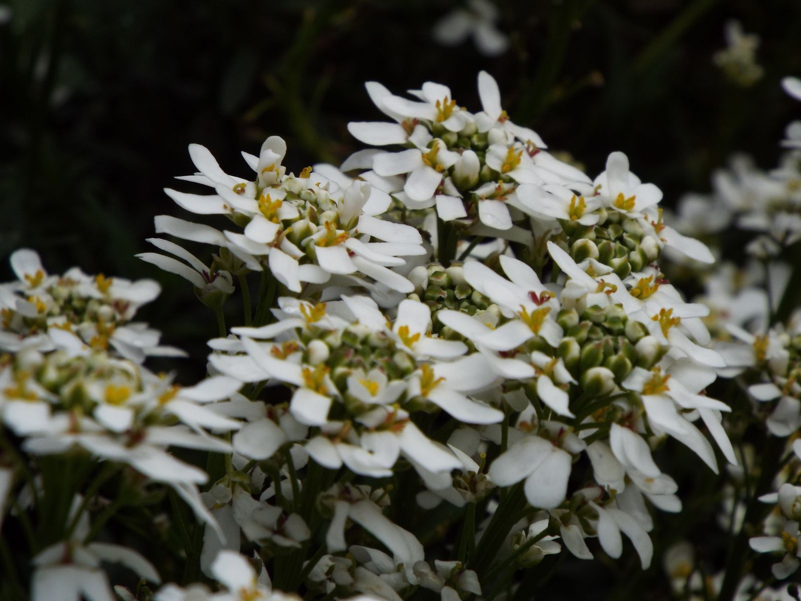 Iberis sempervirens