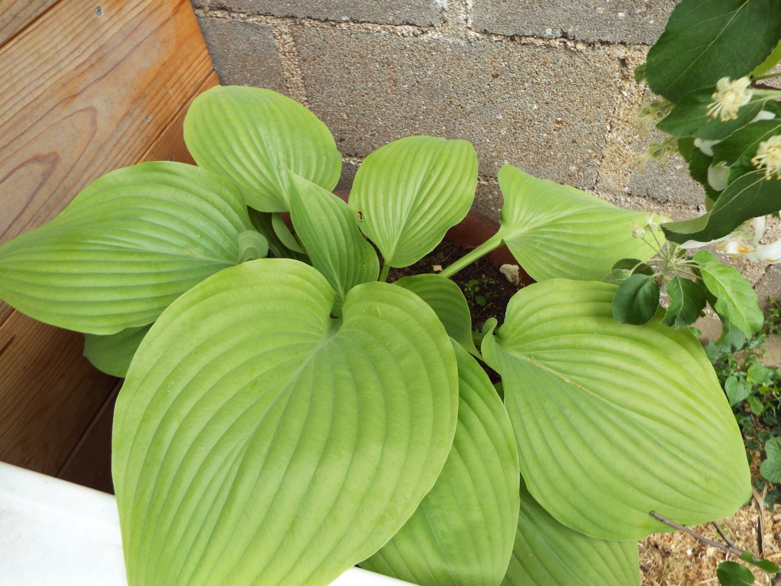 Hosta sum and substance.