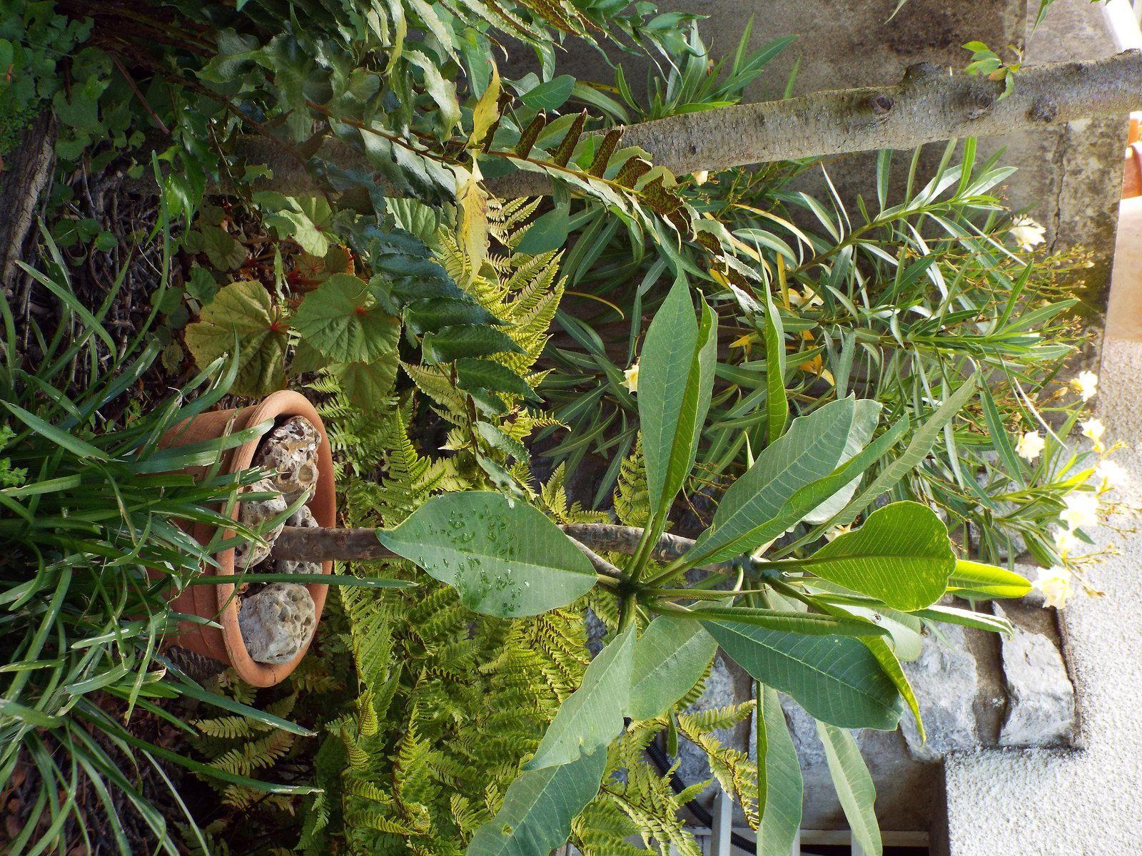 Plumeria, frangipanier.