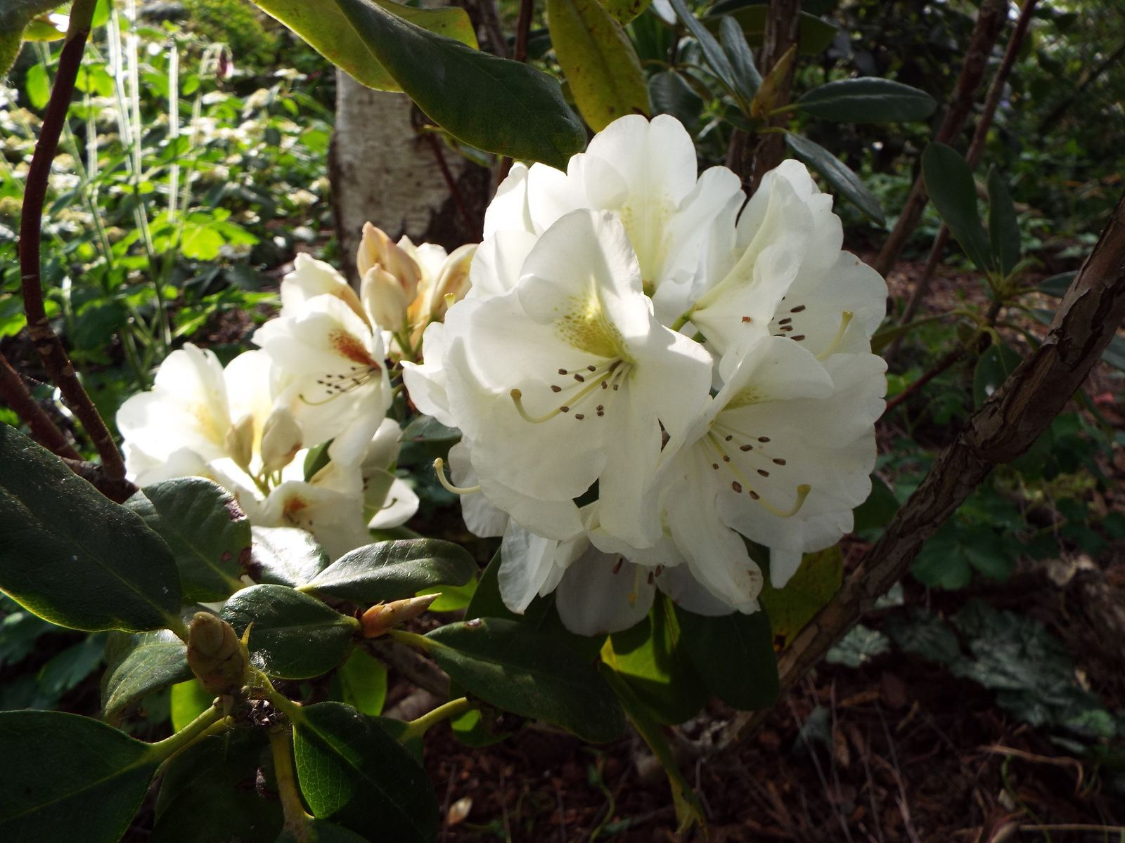 Rhododendron Phyllis Korn