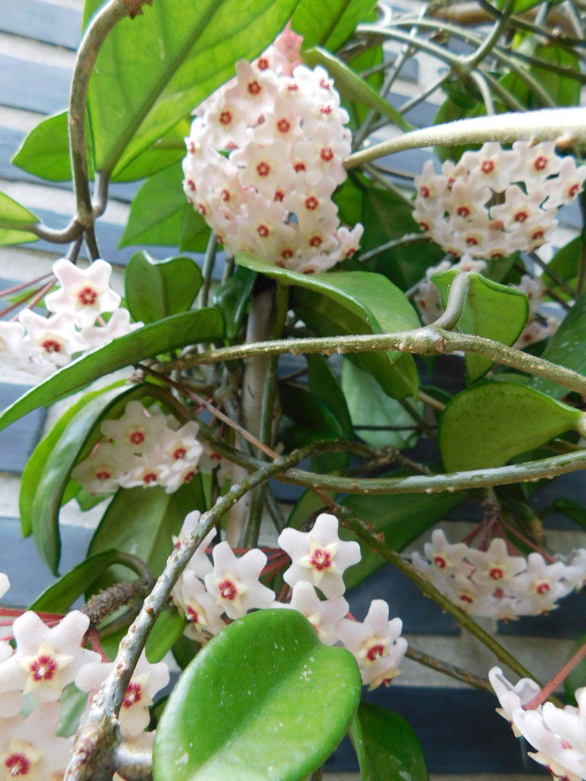 Floraison du hoya carnosa.