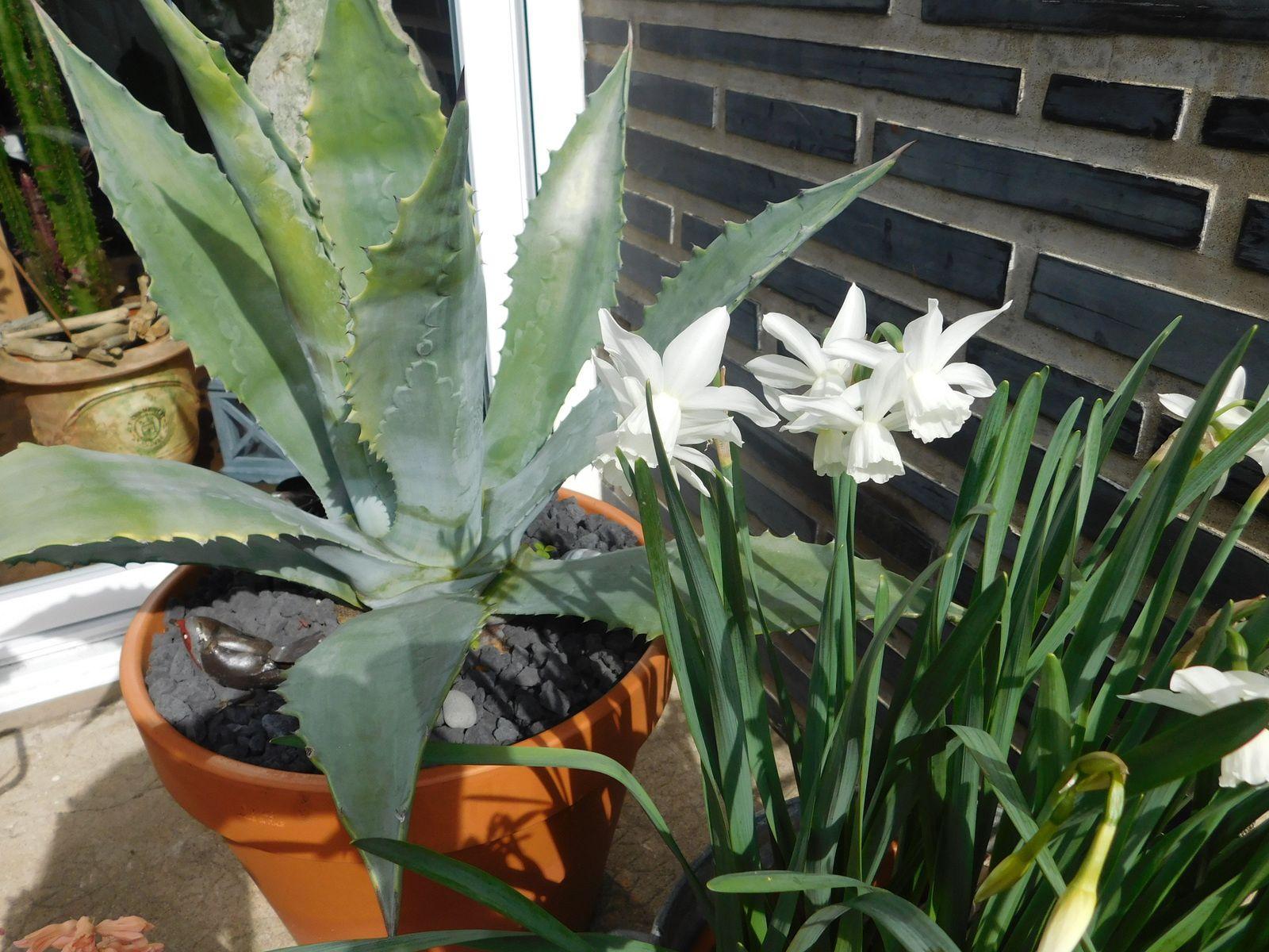 Narcisse 'Thalia' et Agave americana.