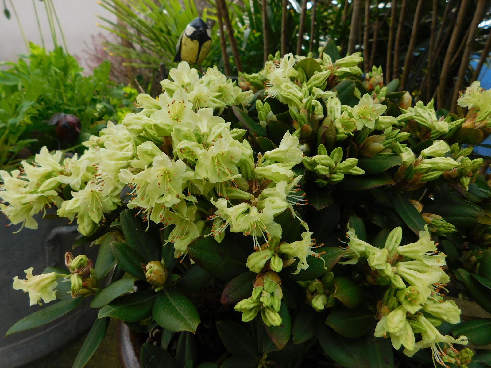 Rhododendron nain 'Shamrock'.