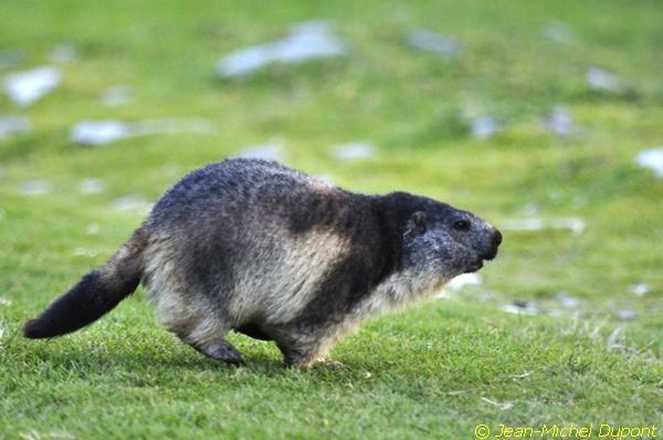 Bouquetins et marmottes