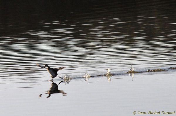 La course du grèbe à travers l'étang