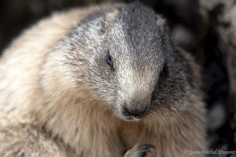 Encore une marmotte