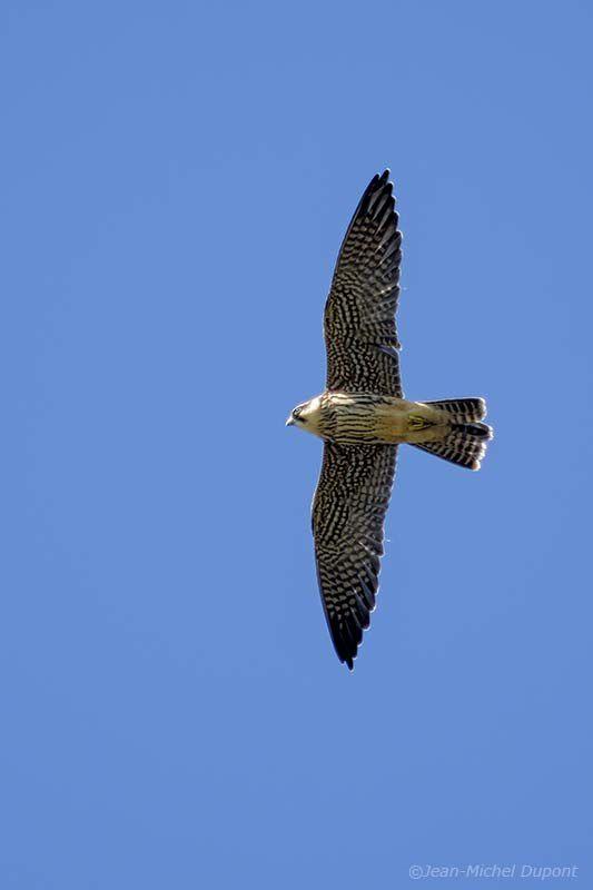 Faucon hobereau juvénile