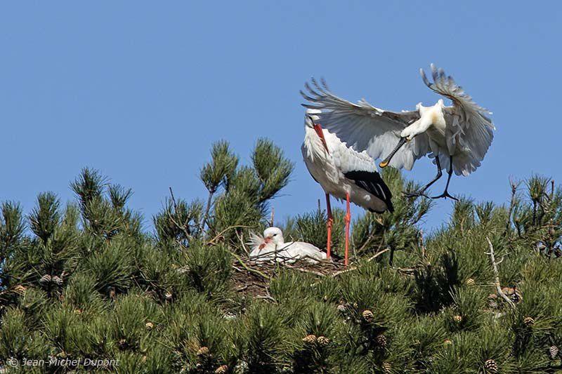 Arrivée d'une spatule près d'un nid de cigognes