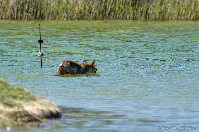 Prédation du renard au Marquenterre