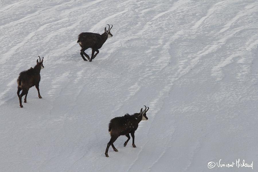 3 chamois sur une mer de neige - Jura