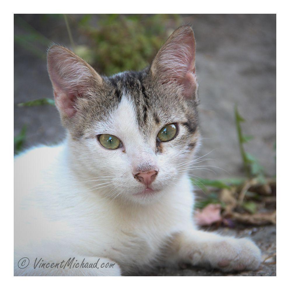 Jeune chat curieux dans les ruelles du village de Skrip ( Île de Brac) - Août 2013