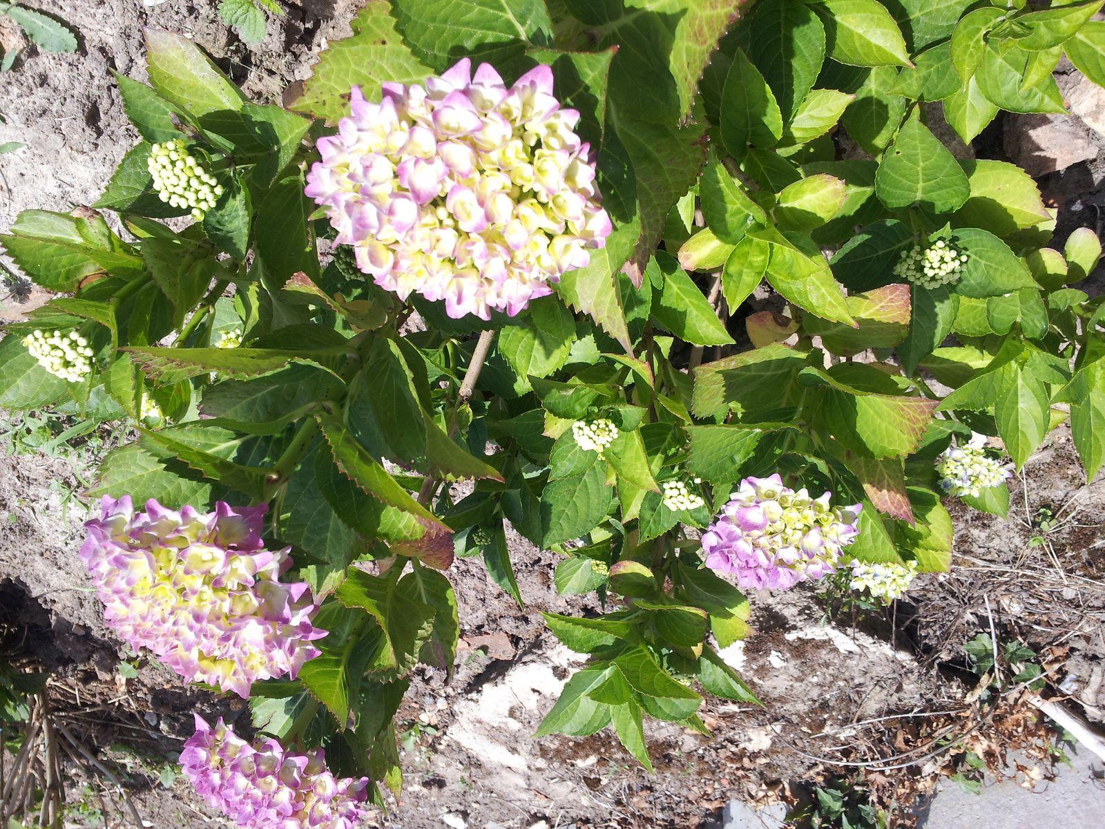 Quelques photos de mes fleurs