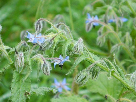 Des fleurs de bourrache qui résistent au mauvais temps qui arrive ................