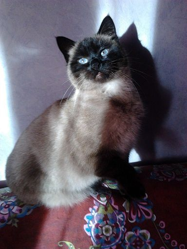 Ma photo préférée de Vanille : très belle et un brin dédaigneuse !! Lol ce n'est pas une siamoise pour rien !!