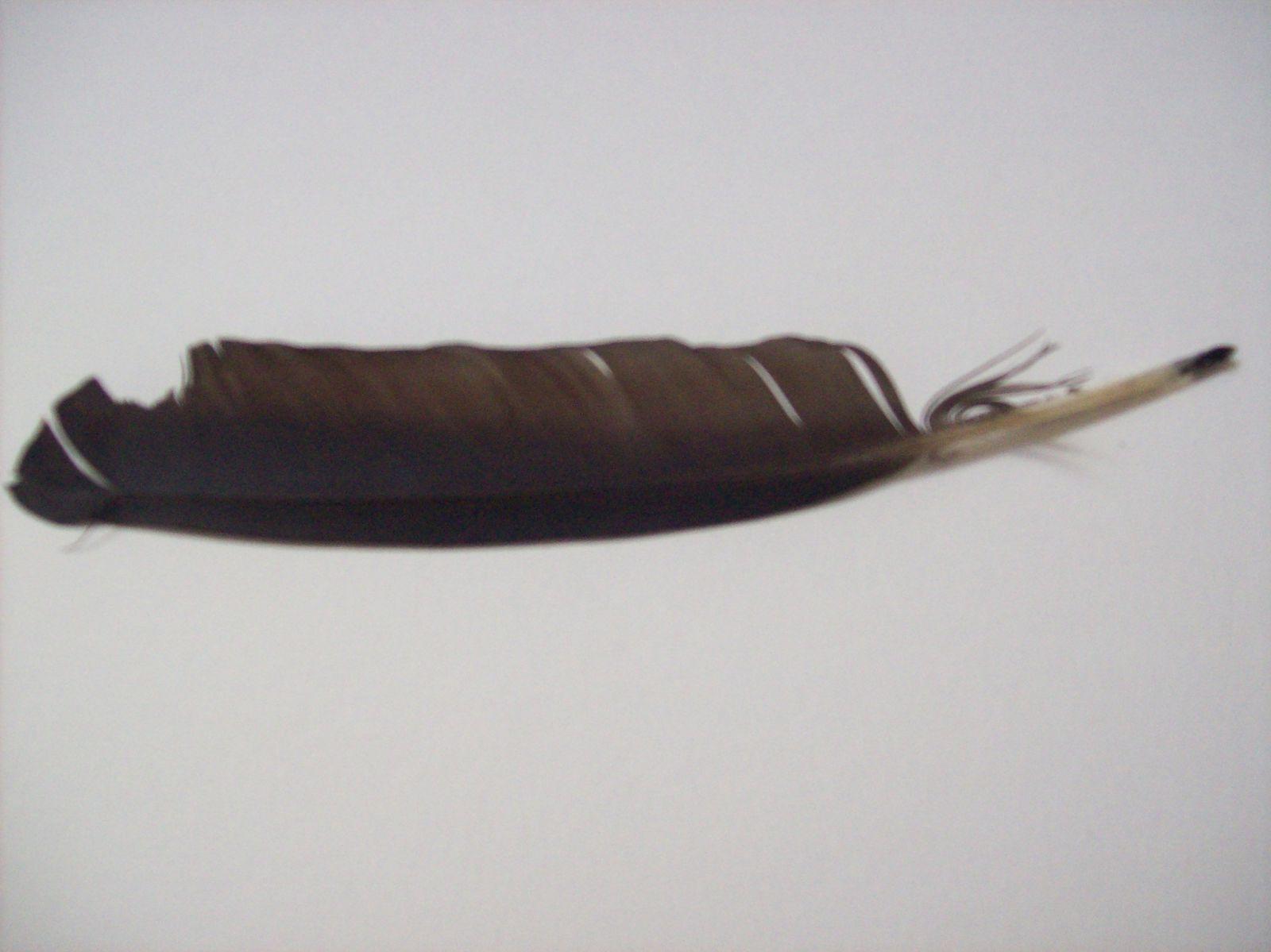 De gauche à droite : plumes de canard (2), de héron cendré, de buse (3)