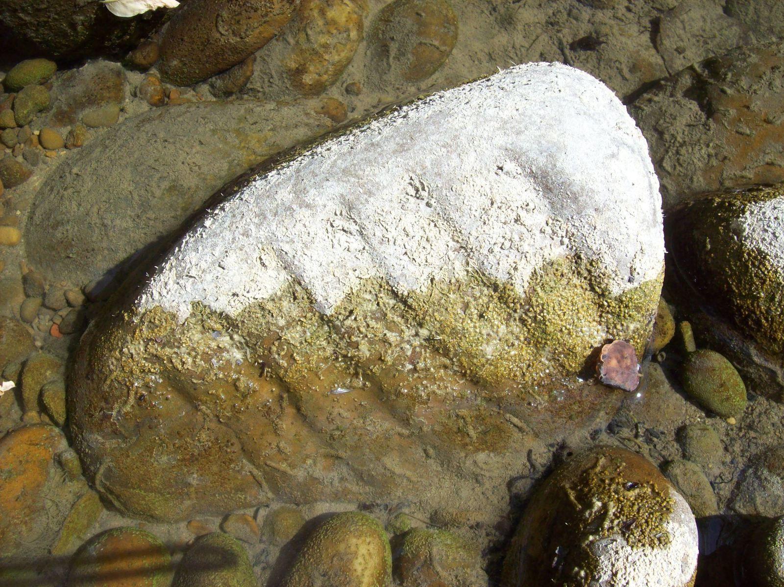 Galet de quartzite découvert tel quel puis nettoyé, portant des marques de rivage de 240 millions d'années, manuscrits, truite fario et arbre fossilisé de la rivière Galaure. Photos de Régis Roux, juillet, août 2015.