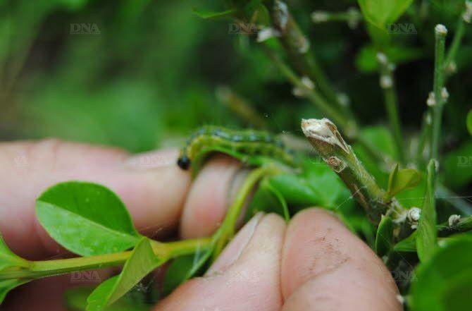 insectes ravageurs du buis