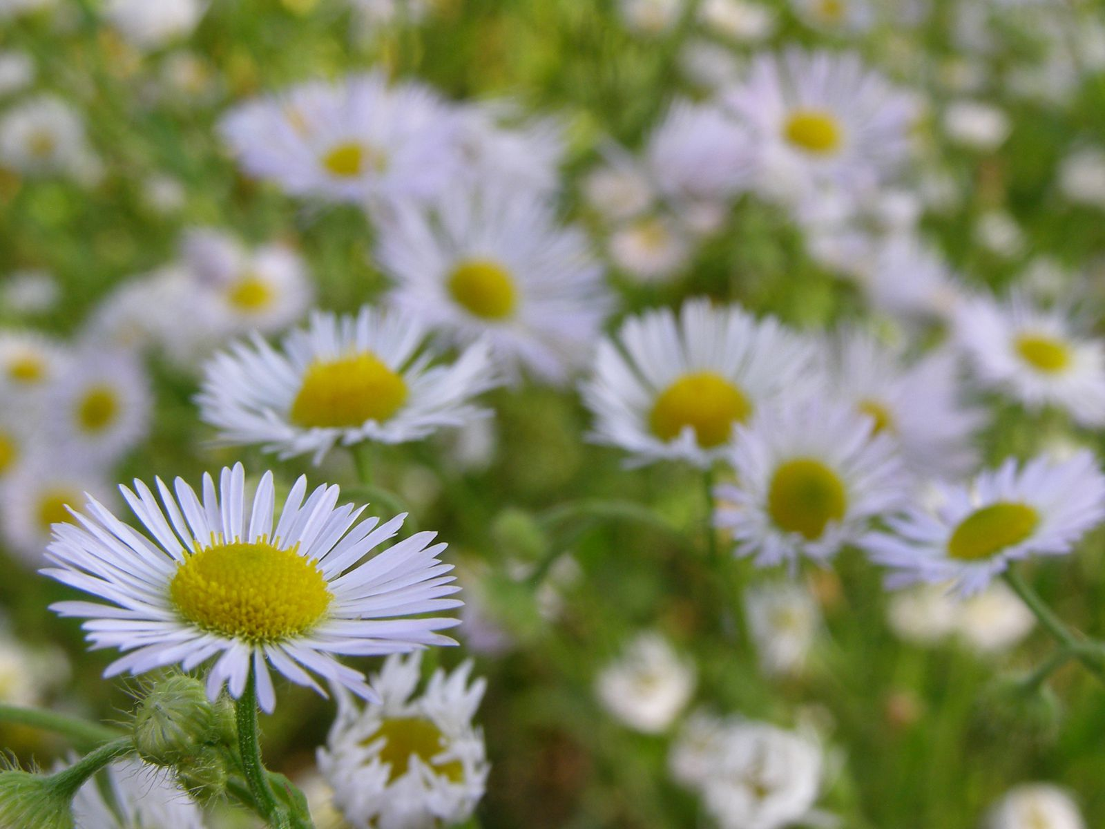 album photos Erigeron annuus