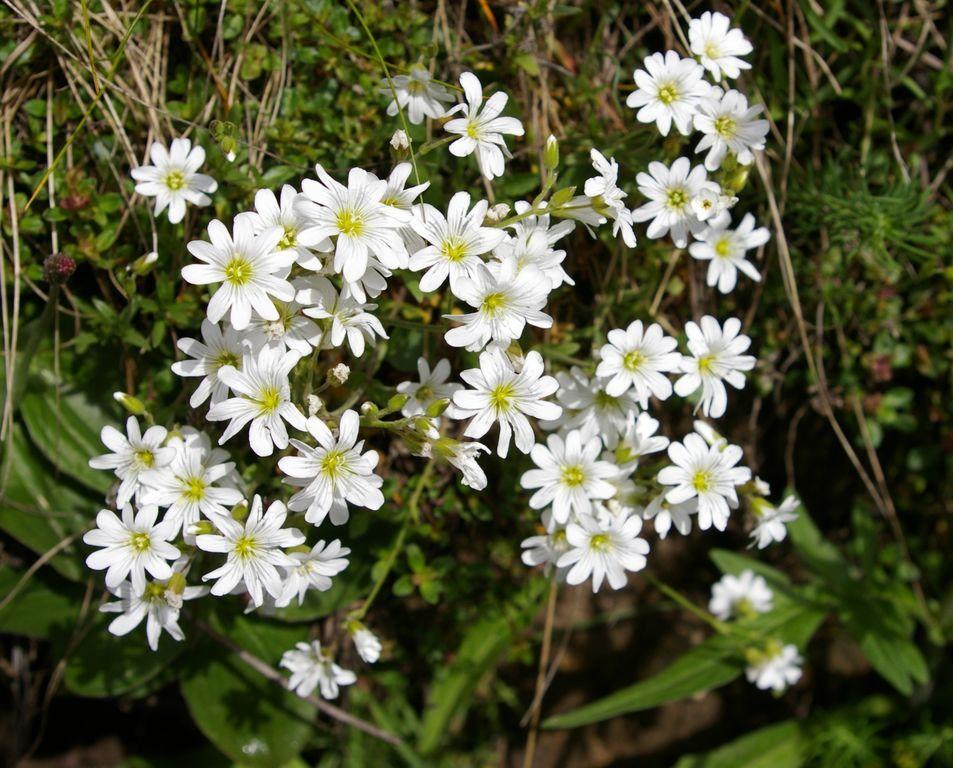 Flore du Mont Cenis