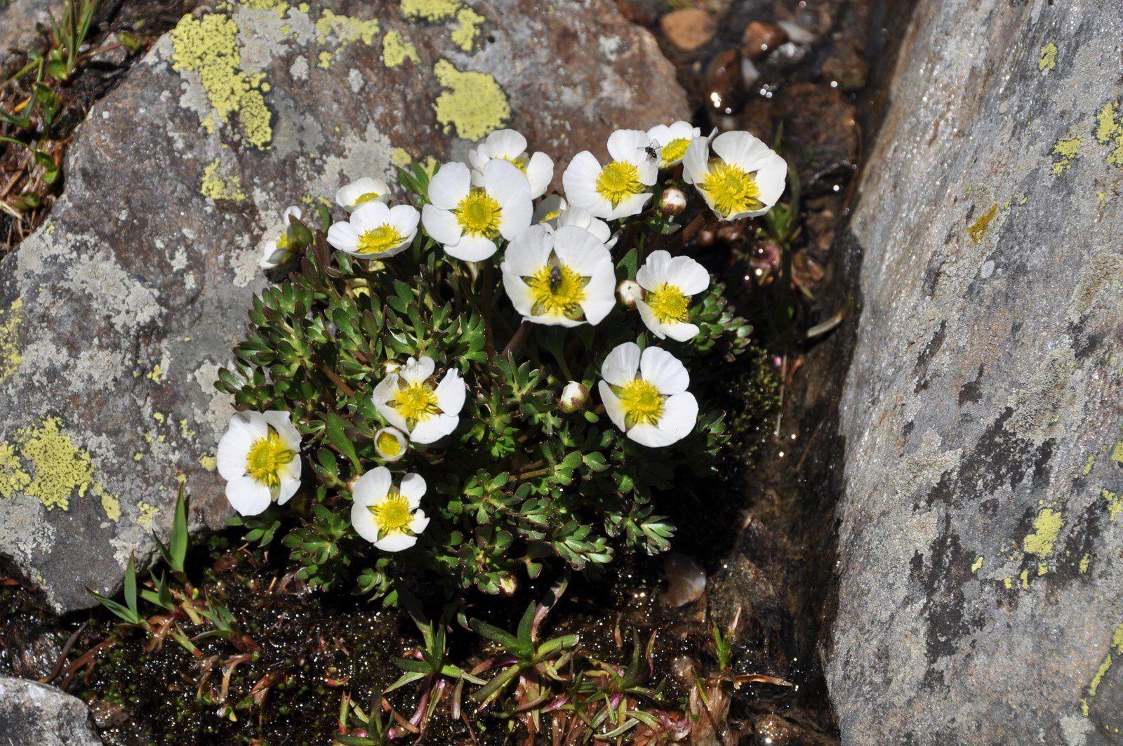 2013 Fleurs de Haute Maurienne