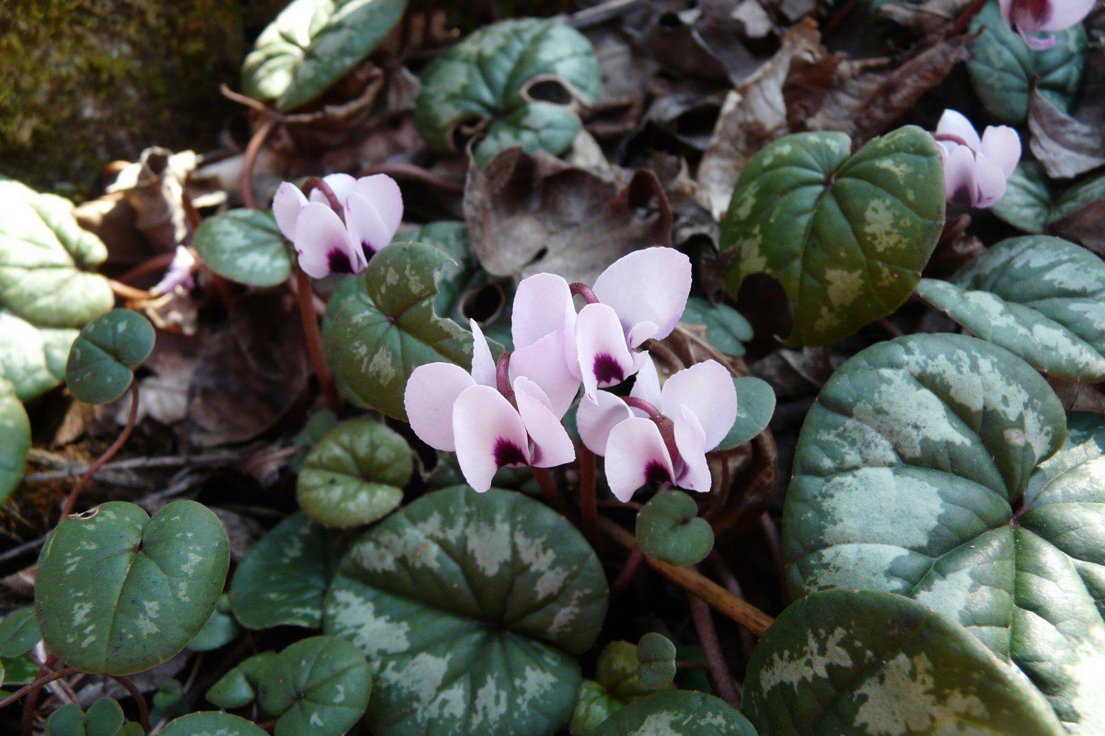 Primulacées : cyclamens et soldanelles......
