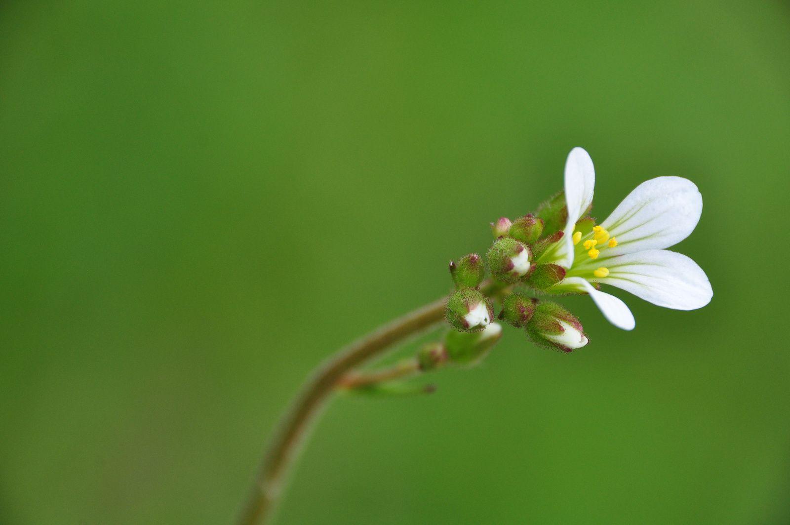 Saxifraga granulata, saxifrage à bulbille