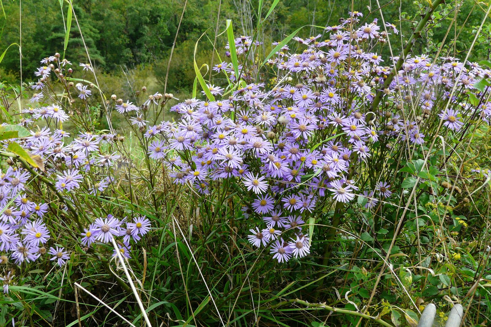 Aster amellus L. aster amelle