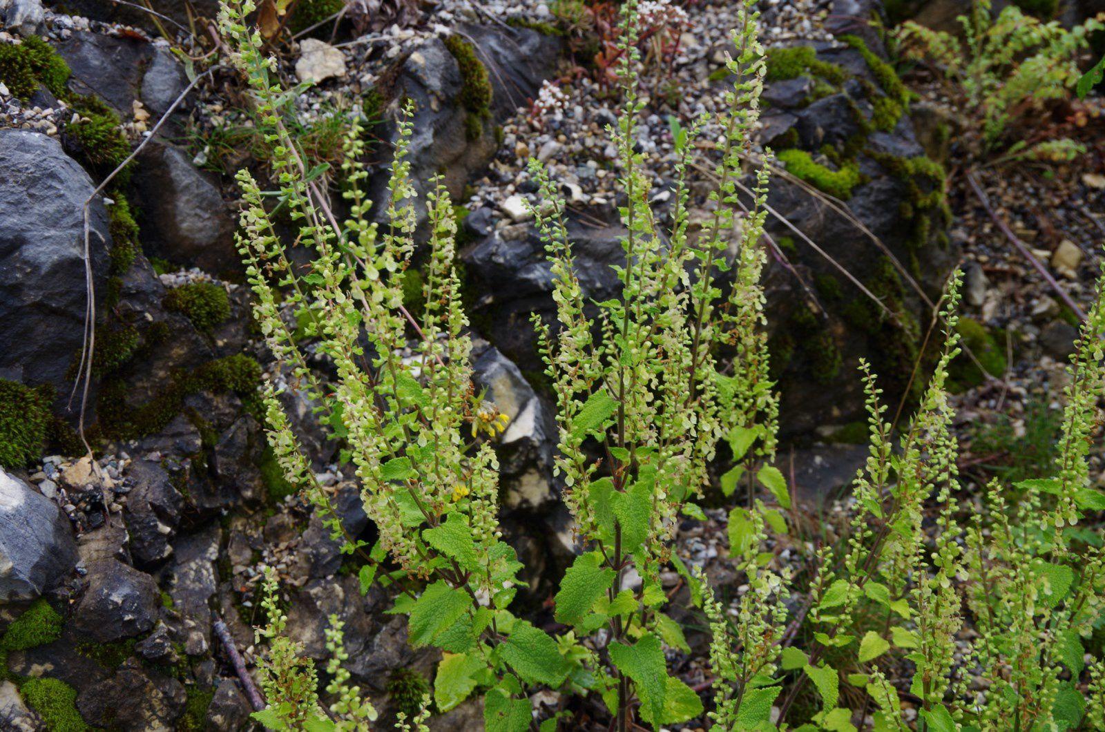 Teucrium scorodonia L.  Germandrée scorodoine, sauge des bois,