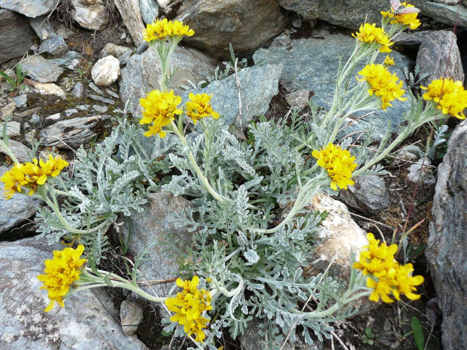Senecio incanus, séneçon blanchâtre, belle photo de Jacques.