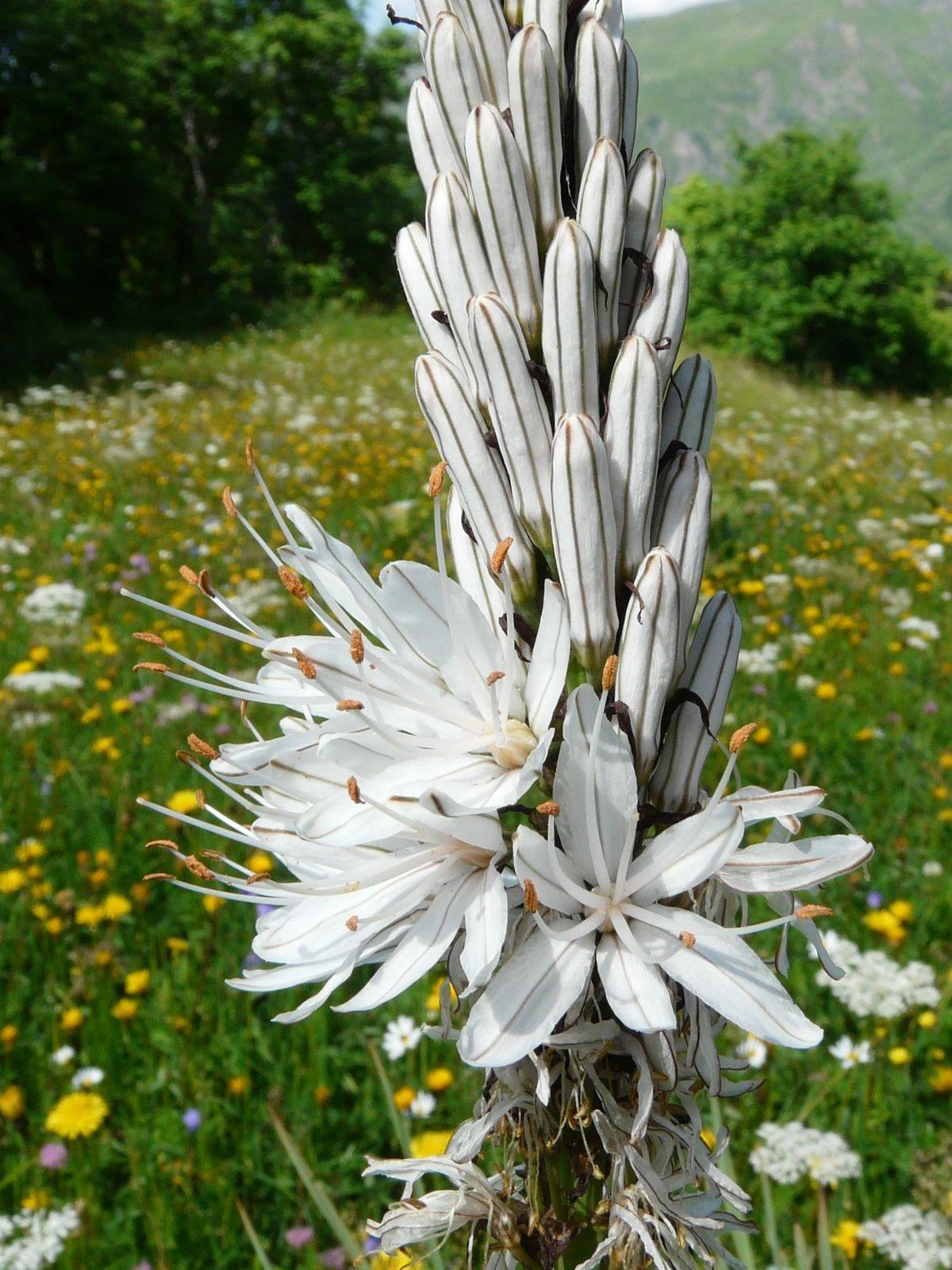 Asphodelus albus, l'asphodèle blanc