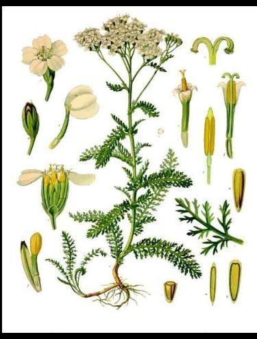 Sourcils de Vénus, Achillea millefolium