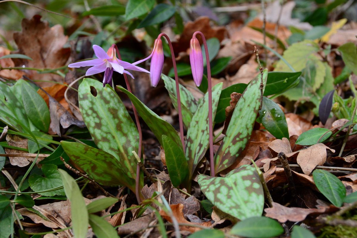 Erythronium dens-canis, photo de Jaxques.