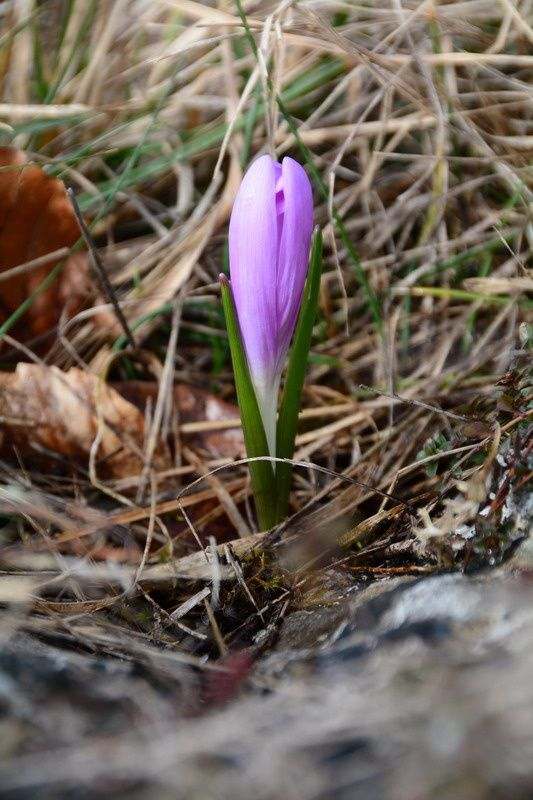 Crocus vernus, photos de Jacques