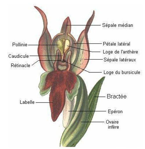 orchidee legende